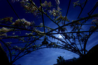 Moon and Jupiter And The Wisteria Flowers